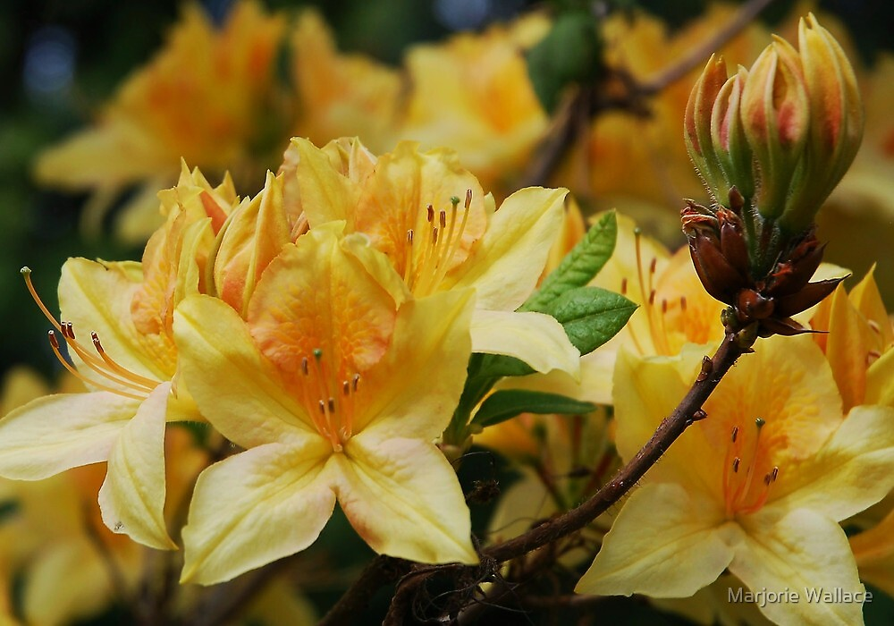 Golden Azalea by Marjorie Wallace