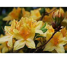 Golden Azalea Photographic Print