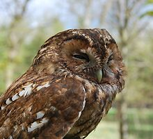 Tawny Owl (Strix aluco) by Lindamell