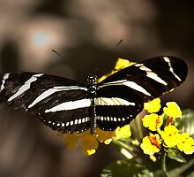 Zebra Longwing-2 by George Lenz