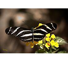 Zebra Longwing-2 Photographic Print