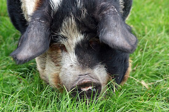 Grazing Kune Kune by WellgateFarm