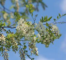 Springtime White Locust Blossoms by SmilinEyes