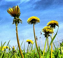 Dandelions in the Sky by ienemien