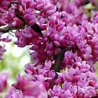 Redbud Branch by MarjorieB