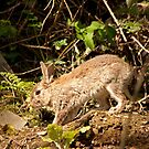 European Wild Rabbit by Jon Lees