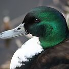 Mallard Drake by larry flewers