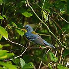 Northern Parula  by Photography by TJ Baccari