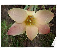 Pale Peach flower Poster
