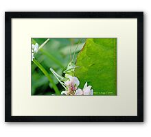 Great Green Bush-Cricket, Tettigonia viridissima Framed Print