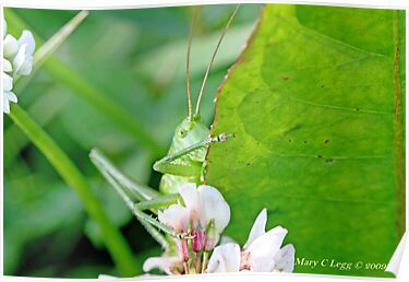 Great Green Bush-Cricket, Tettigonia viridissima by pogomcl