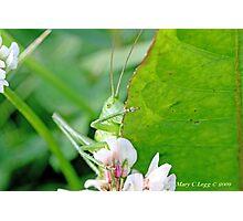 Great Green Bush-Cricket, Tettigonia viridissima Photographic Print
