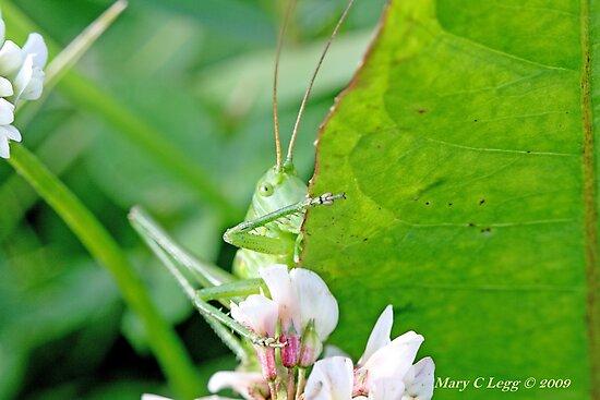 Great Green Bush-Cricket, Tettigonia viridissima by pogomcl