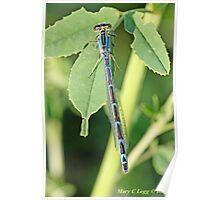 Common Blue Damselfly,  Enallagma cyathigerum  B Poster