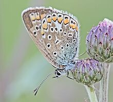Adonis Blue, Polyommatus bellargus by pogomcl