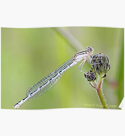 Winter Damselfly, Sympecma fusca f Poster