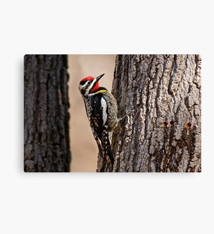 Yellow Bellied Sap-Sucker - Ottawa, Ontario Canvas Print