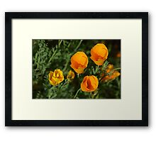 California Poppies - view from above Framed Print