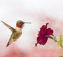 male ruby throat hummingbird 11 2015 by RosiesPhotos