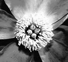 Peony as a Charcoal Sketch by DebbieCHayes