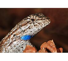 Fence Lizard Photographic Print