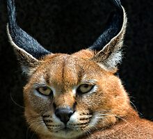 Caracal by TeresaB