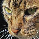 Tiger Cat by Diana Forgione