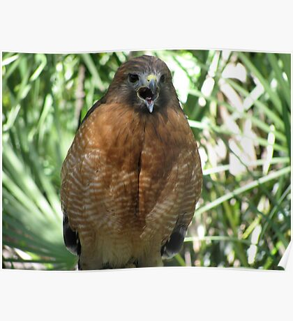 Red Tail Hawk- Florida Poster