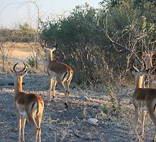 Whats over the Hill- Springbok Chobe National Park by Ouzopuppy