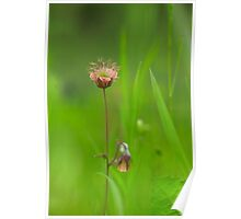 Water avens in bloom Poster