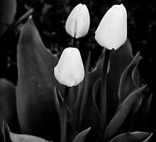 White Tulips by Charles Plant