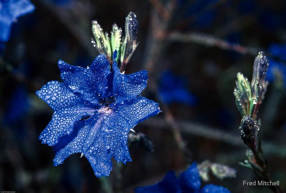 198208200008 Blue flower Calingiri by Fred Mitchell