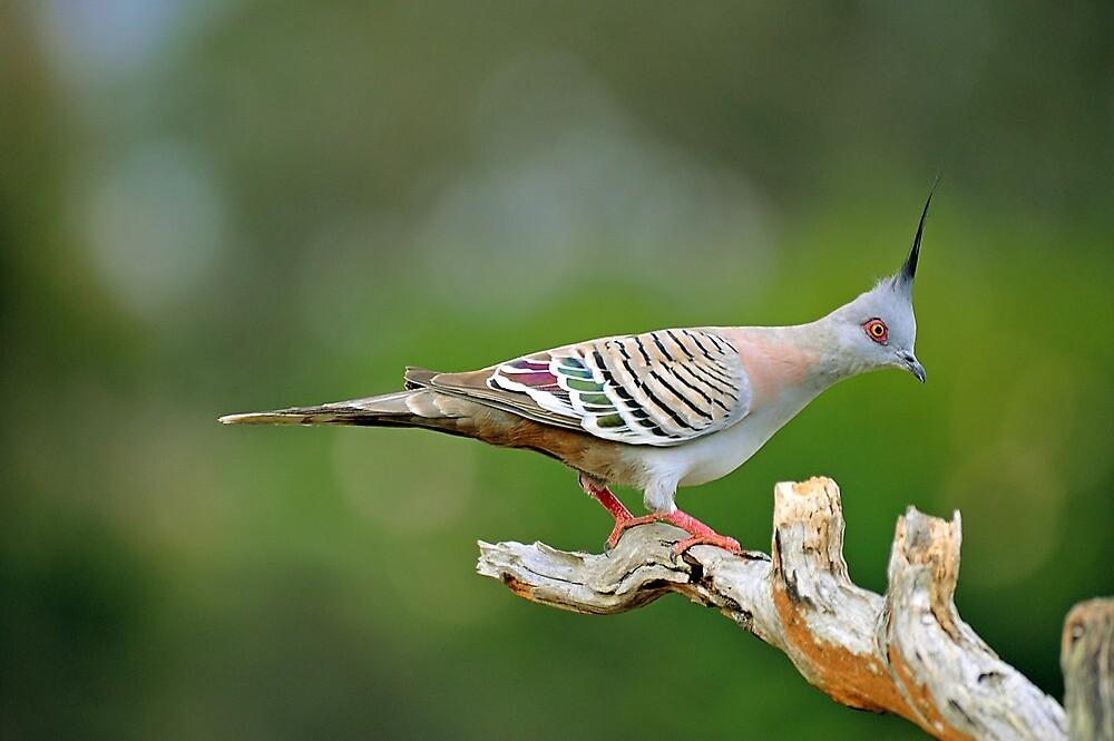 Crested Pigeon. Brisbane, Queensland, Australia. by Ralph de Zilva