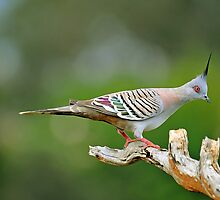 Crested Pigeon. Brisbane, Queensland, Australia. by Ralph de Zilva