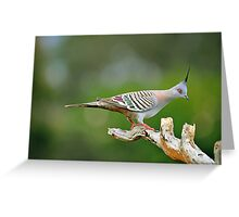 Crested Pigeon. Brisbane, Queensland, Australia. Greeting Card