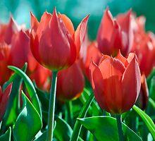 Red tulips by dominiquelandau