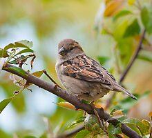 House Sparrow by (Tallow) Dave  Van de Laar