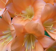 clivia II by Floralynne