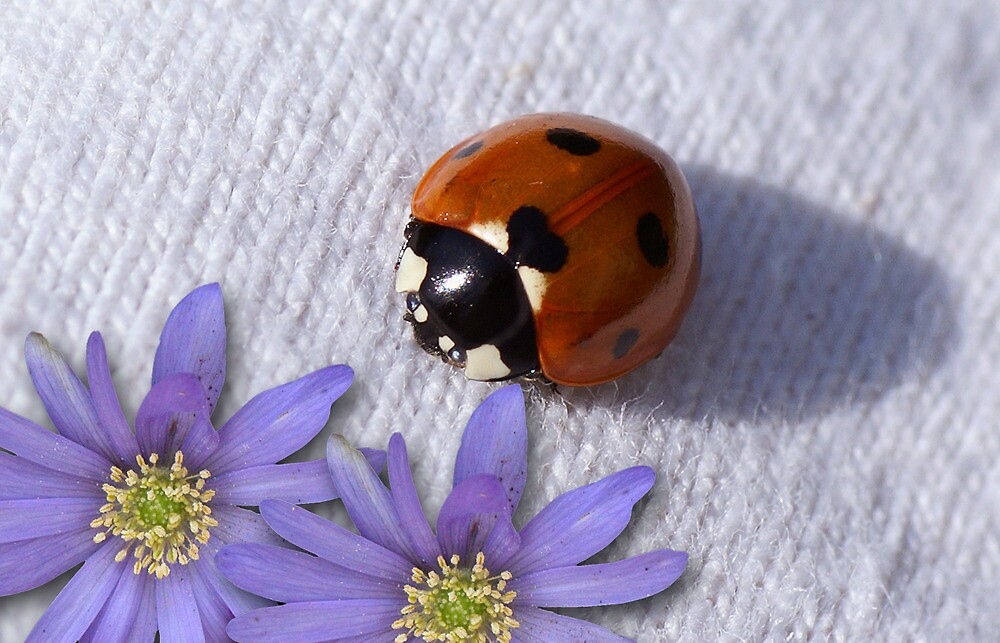 The lady bug by walstraasart