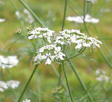 coriander flower by Floralynne