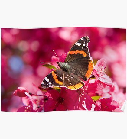 Admiral butterfly on crab apple tree blossoms Poster