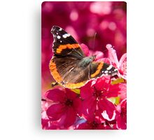 Admiral butterfly on crab apple tree blossoms Canvas Print