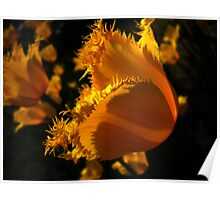 Amber Tulips. Poster