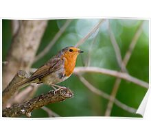 Robin on Branch Poster