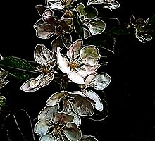 Apple blossoms... by Patriciakb