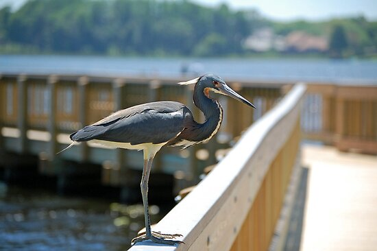 Tri-Color Heron Posing by nauticalelf