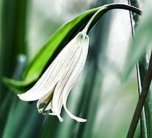 Wild Oats -- (Sessile Bellwort) by T.J. Martin