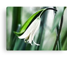 Wild Oats -- (Sessile Bellwort) Canvas Print