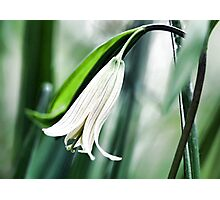 Wild Oats -- (Sessile Bellwort) Photographic Print