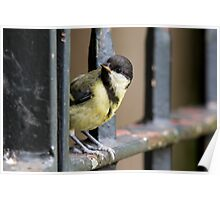 Young Great Tit on Railings Poster